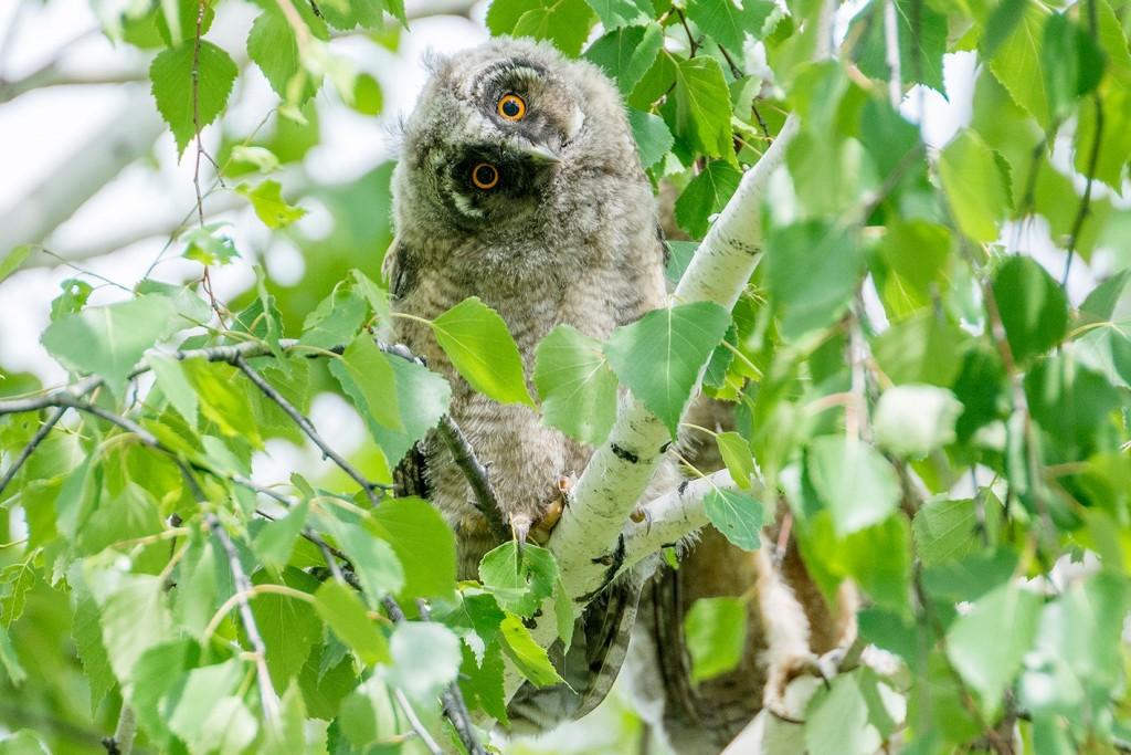 Птенец ушастой совы может сидеть на земле или ветках деревьях_Ю. Артемин