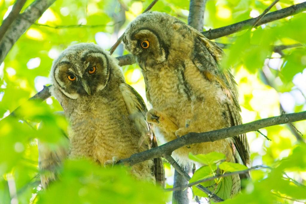 Слетки ушастой совы не одни, их мама обязательно находится рядом_Ю. Артемин
